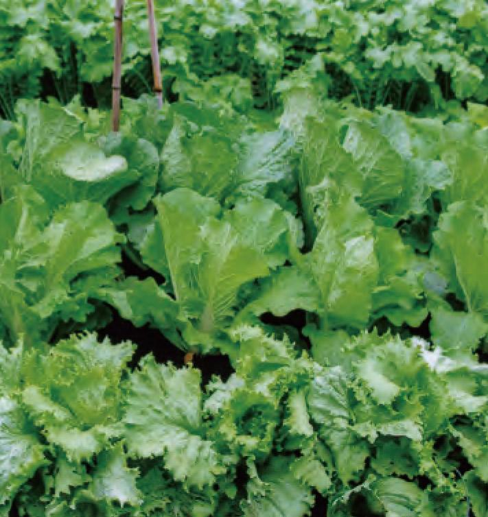 HB―101を使用した野菜は、害虫がつかず きれいで美しいと好評です。