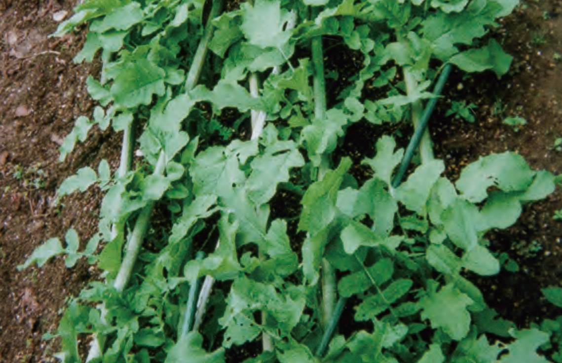 イノシシ避けに支柱を使っています。葉大根のタネを蒔いて、 HB―101で育てて、おいしく食べています。
