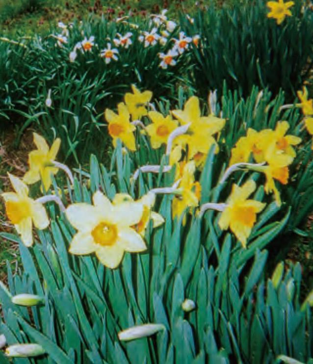 畑に咲いたHB―101育ちの水仙です。