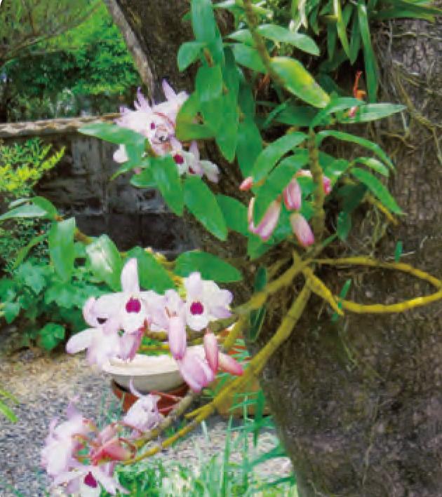 HB―101のお蔭でデンドロビューム が柿の幹に着生して、美しい花を咲かせ ています。