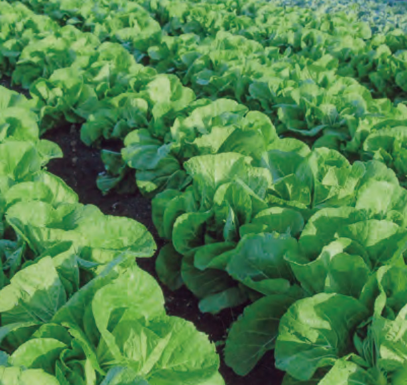 害虫予防も兼ねてHB―101を散布し、 美しく丈夫に生長している白菜です。