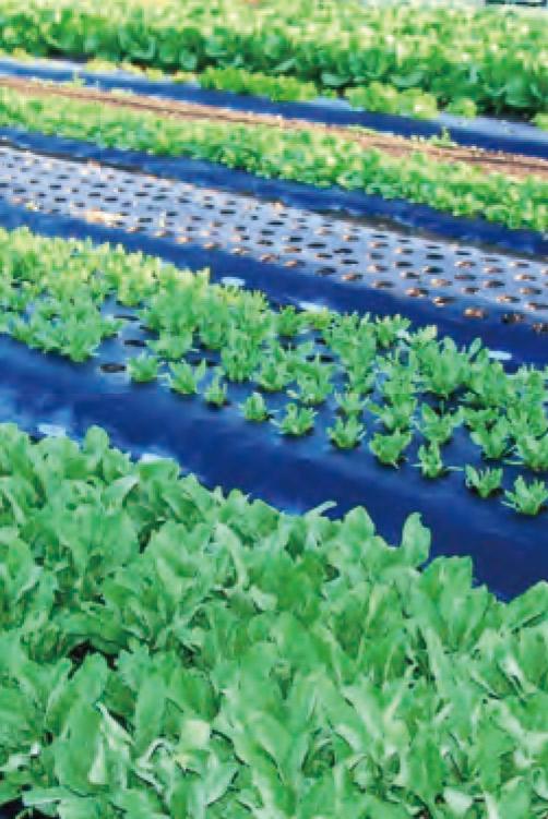 時間差栽培の野菜の苗がHB― 101で丈夫に育っています。