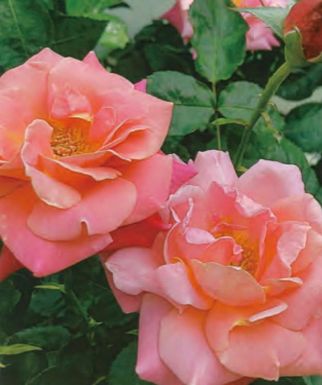 HB―101のお蔭で色鮮やかなバラになりました。