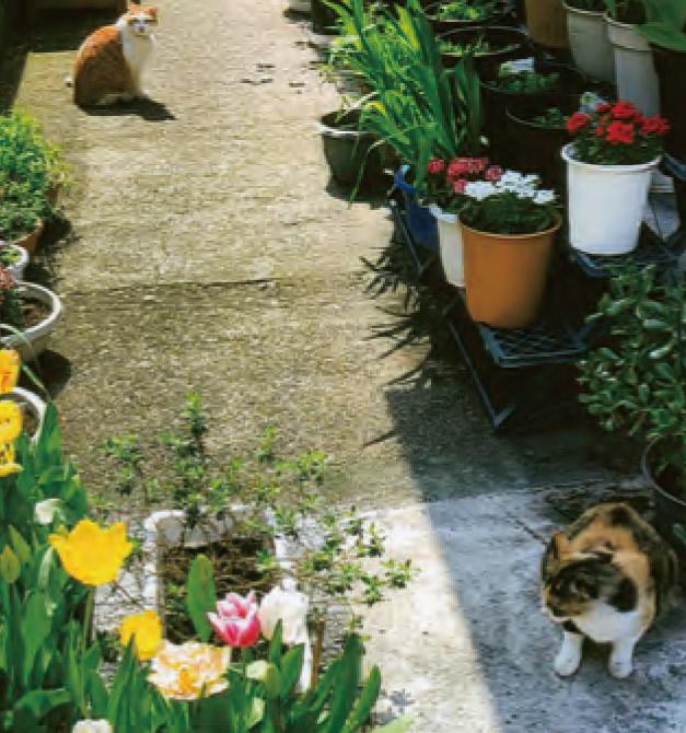 チューリップを300個ほど植えました。 これは一部です。 HB―101を飲んで元氣な家ネコがネズミの大きいのを2匹もとってきました。
