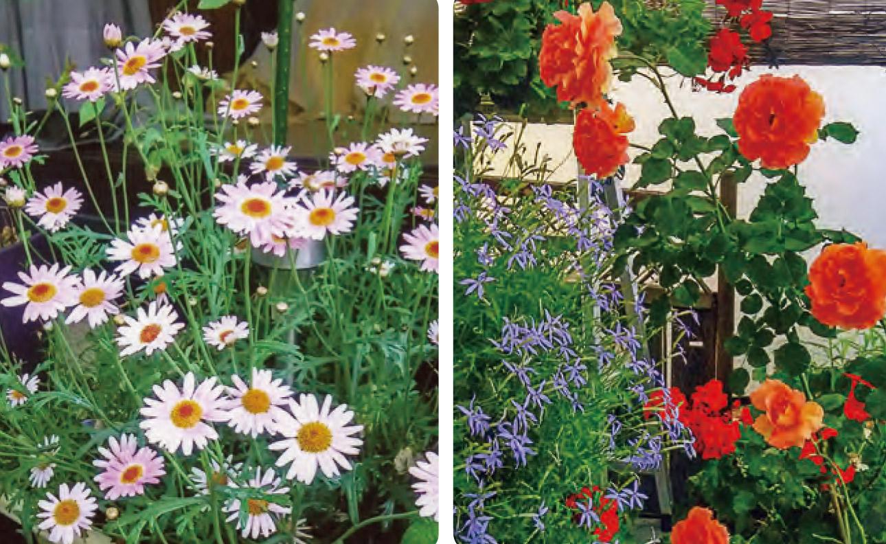 HB―101で花々はとても美しく、驚く程長い間、咲いてくれます。