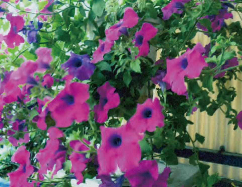 終わりかけていたペチュニアにHB―101を朝晩に散布し続けたら、再び勢いよく花が咲き始め、2度も花を楽しめました。