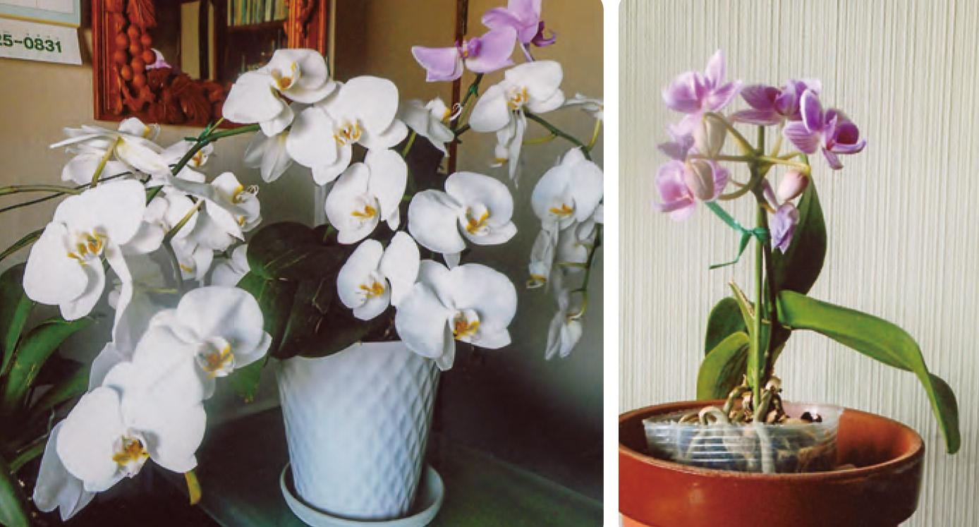 瀕死の状態だったカトレアがHB―101を散布し続けたら、見事に蘇り、美しい花を着けてくれました。