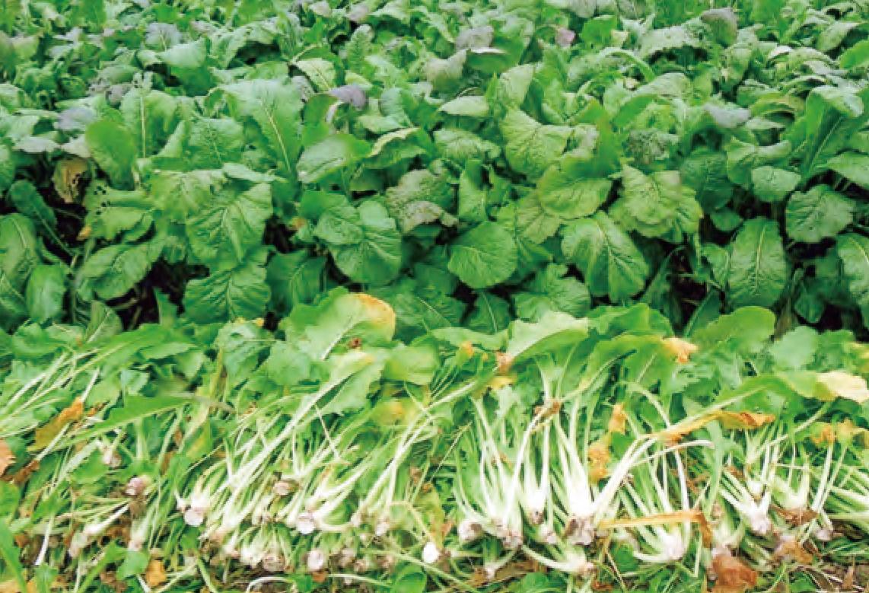HB―101と顆粒HB―101で野沢菜がおいしくなります。