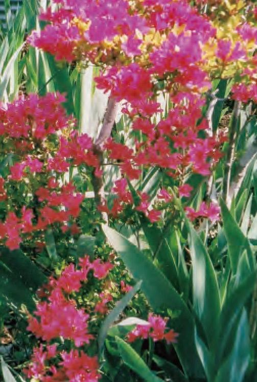 HB―101で美しく咲く、 なでしこのミニ八重咲きです。