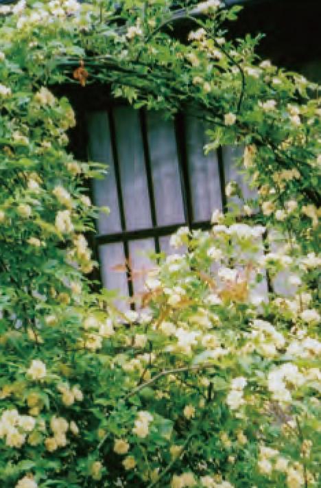 もっこうバラのアーチ作りをHB―101を使って栽培しています。