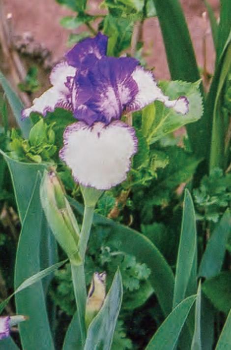 HB―101できれいに咲くジャーマンアイリスの早咲きです。