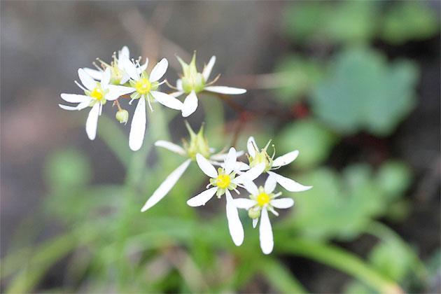 HB-101と顆粒HB-101で大文字草が気高く誇らしげに咲きます。