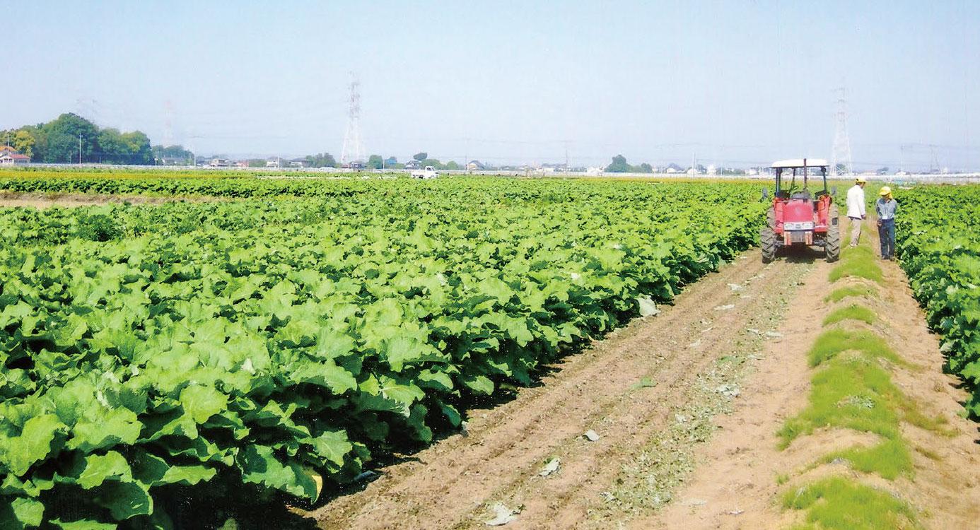 3町(9000坪)の広い畑で、HB-101を使って「ごぼう」を栽培しています。HB-101で素晴らしいごぼうになります。