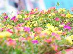 HB-101を使うと、株がしっかりして、花がたくさん咲き、長く楽しめます。