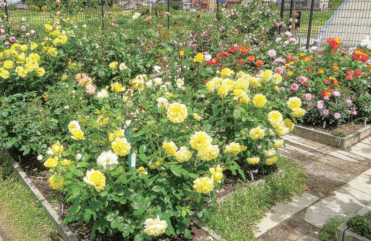 HB-101のおかげでバラはうどんこ病などの病気になりにくくなります。