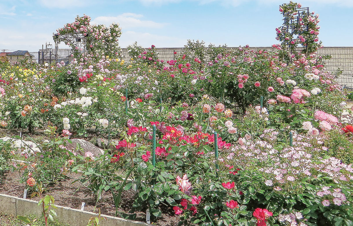 HB-101で美しくて元気なバラが咲いています。