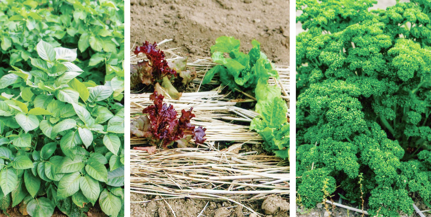 HB-101で右からパセリ、レタス、ジャガイモの葉の緑色が鮮やかで、とても美味しいです。