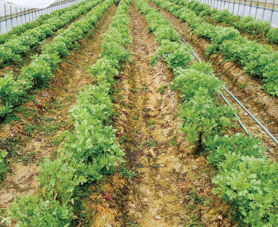 野菜など、あらゆる作物にHB-101を散布しています。