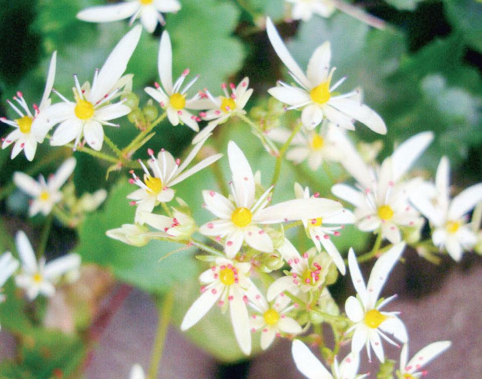 HB-101と顆粒HB-101で大文字草が可愛い花を咲かせました。