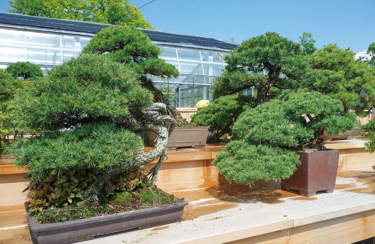 HB-101で盆栽の葉っぱの照りがとても良くなります。