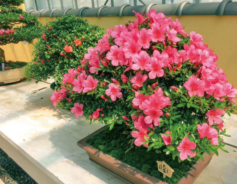 HB-101でさつき盆栽の芽の出が良く、花が美しく咲きます。