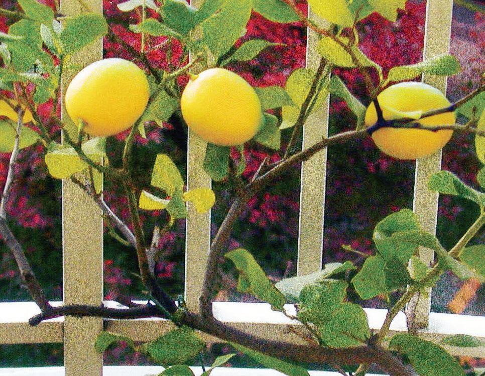 HB-101のおかげで右側のレモンは直径72ミリ、長さ84ミリと市販のものより大きくなりました。