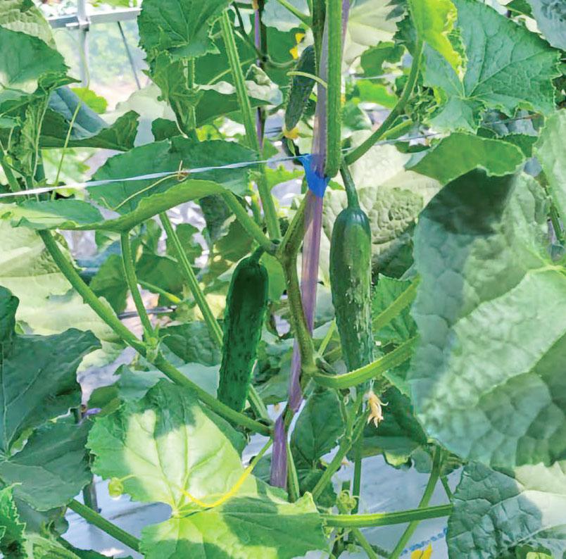 HB-101でキュウリの収穫量が増えます。