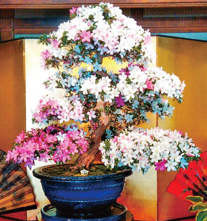 HB-101で色鮮やかなさつきの花が咲きます。