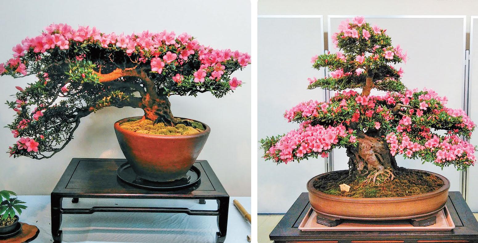 HB-101でさつきは高貴で、きれいで、元気で、美しい花を咲かせています。