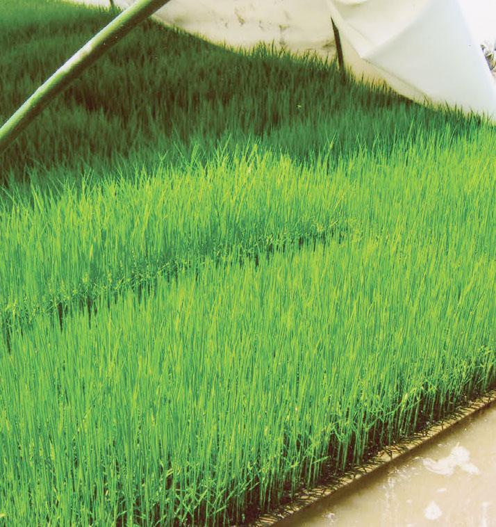 HB-101で稲の発芽が良く、苗の育ちが素晴らしいです。
