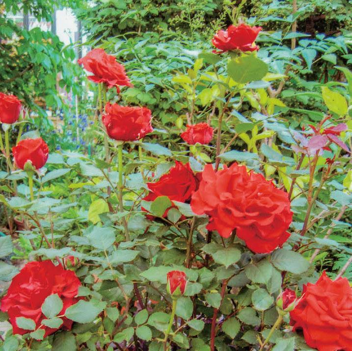 HB-101と顆粒HB-101と活力肥HB-101で花は蕾が増え、色鮮やかになりました。