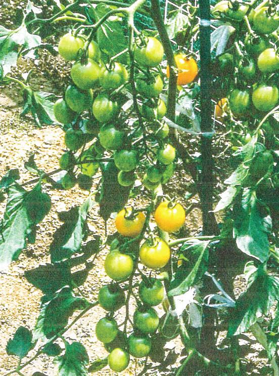 HB-101でミニトマトが鈴なりになっています。