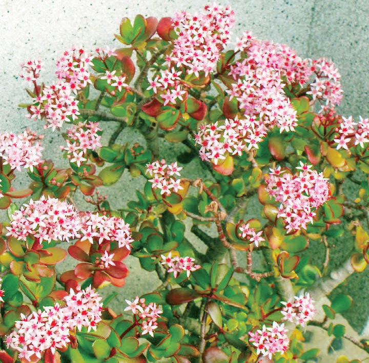 今まで一度も咲かなかったか金の成る木が、去年も今年もHB-101のおかげで、びっしりと美しく花が咲きました。