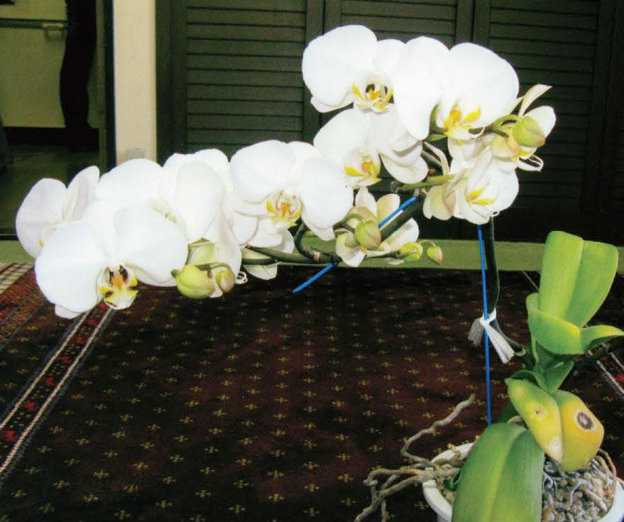 枯れかかっていた胡蝶蘭がHB-101のおかげで見事に生き返り、花を咲かせました。