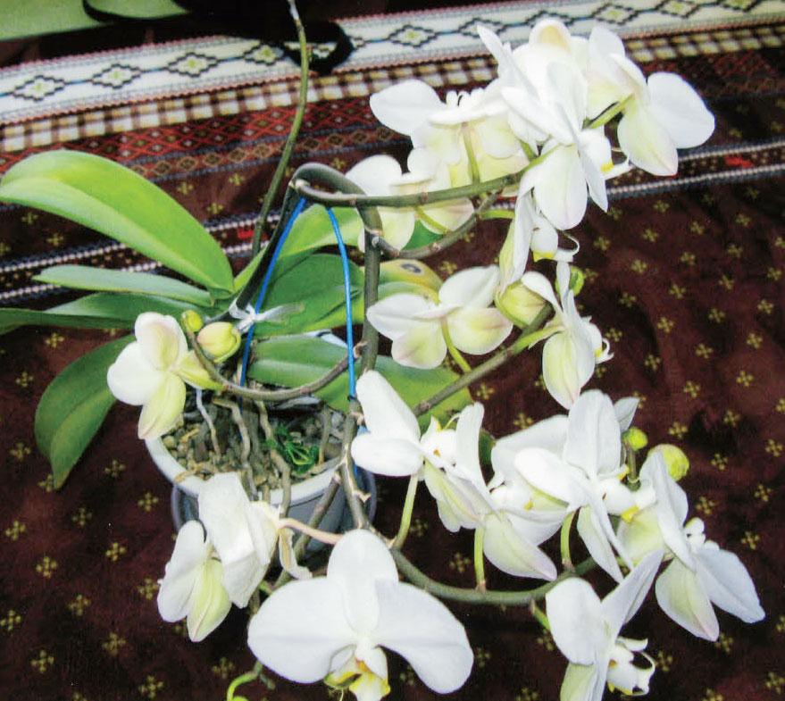 HB-101で胡蝶蘭が美しく咲いています。