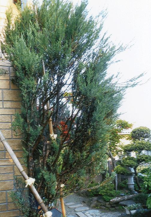 枯れそうになった樹齢100年以上とも言われる庭木がHB-101で超元氣になりました。
