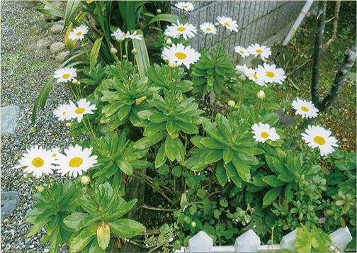 HB-101のおかげできれいな花が咲いています。