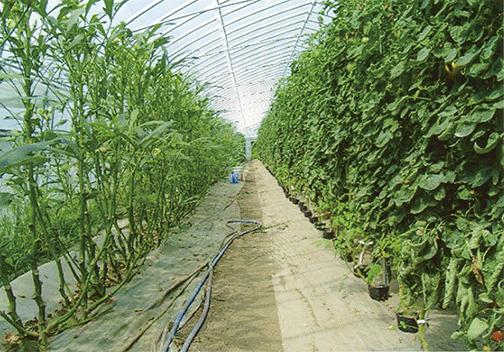 HB-101と顆粒HB-101で栽培する左側がオクラの試験栽培で、右側がトマトです。