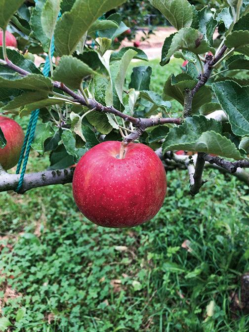 HB-101でリンゴの味が良くなり、葉のつやが良く、病気が減り、害虫が減ります。