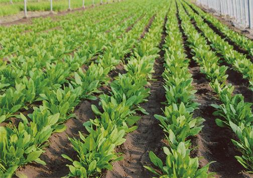 土壌に顆粒HB-101を混入し、発芽後にHB-101を散布し続けて、いきいきと育つほうれん草です。