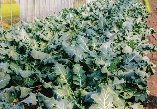 HB-101で順調に育つブロッコリーです。