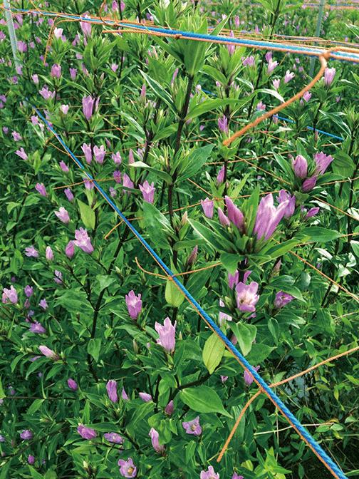 HB-101で見事なリンドウが栽培出来、とても美しいです。