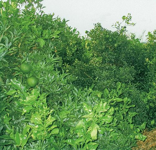 HB-101で「デコポン」の1反(300坪)当たりの収穫量が3トンから5トンに増えています(令和1年10月8日撮影)。