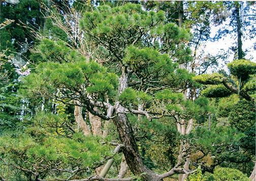 HB-101使用で松に害虫がつかず、安心して育てられます。