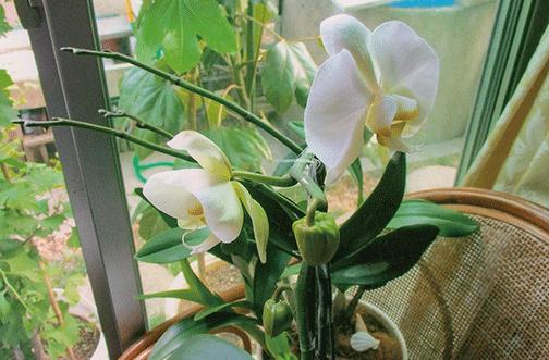 今まで咲いた事がなかった胡蝶蘭がHB-101のおかげで、こんなに美しいお花をつけてくれました。