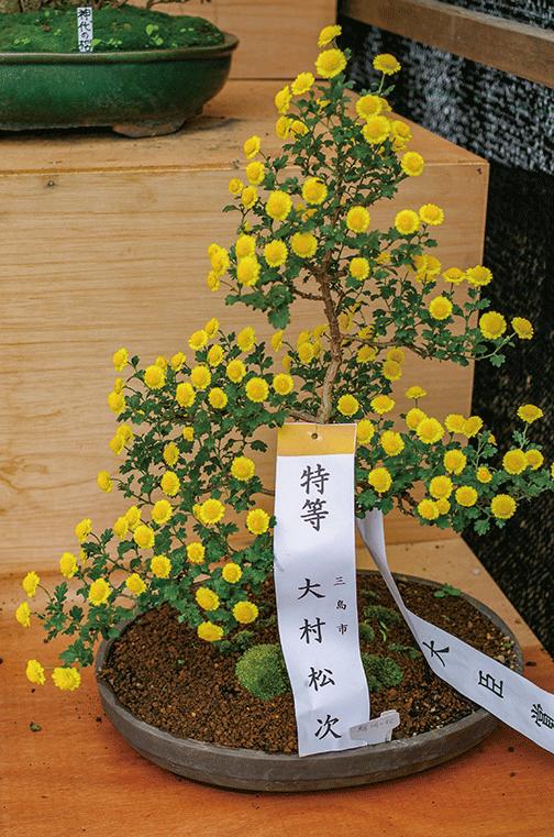 HB-101で菊の根が太く、しっかりとします。