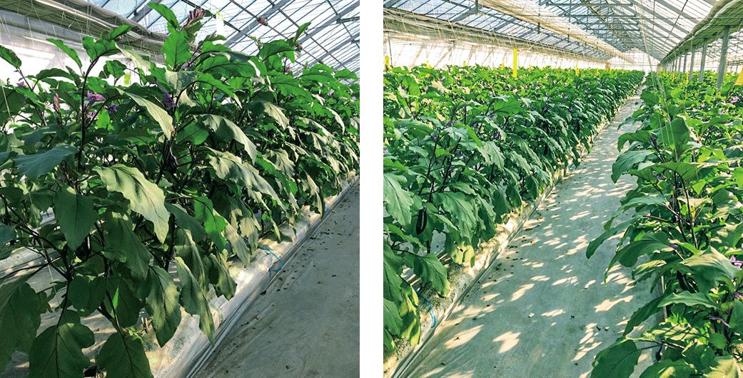 ナスの成り疲れにHB-101を使うと元気になって安定した収穫が出来ます。