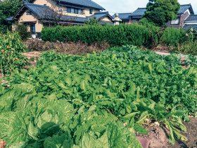HB-101で白菜と大根と蕪が大きくて、やわらかくて甘みがあり、すごくおいしくなります。
