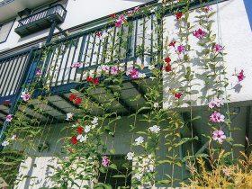 HB-101でサンパラソルが2階のベランダまで伸び、色鮮やかな花が咲きました。