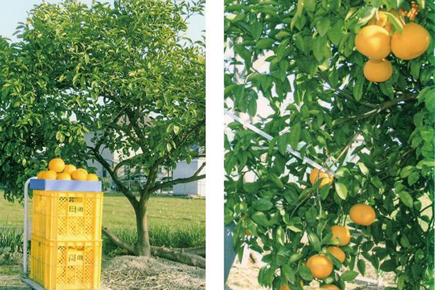 台風で倒れてだめかと思っていたみかんの八朔の木に、HB-101を散布し続けたら、大きく色づいたみかんの八朔に生りました。